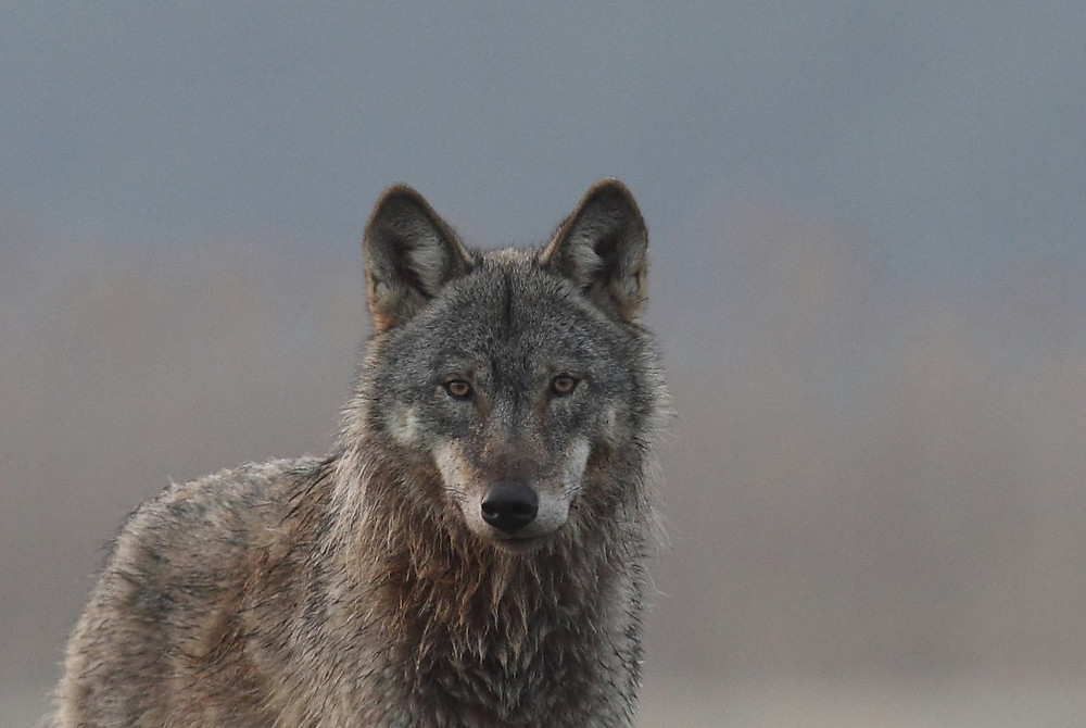Wolf frontal