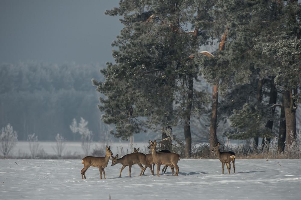 Rudel Rehe im Schnee am Waldrand