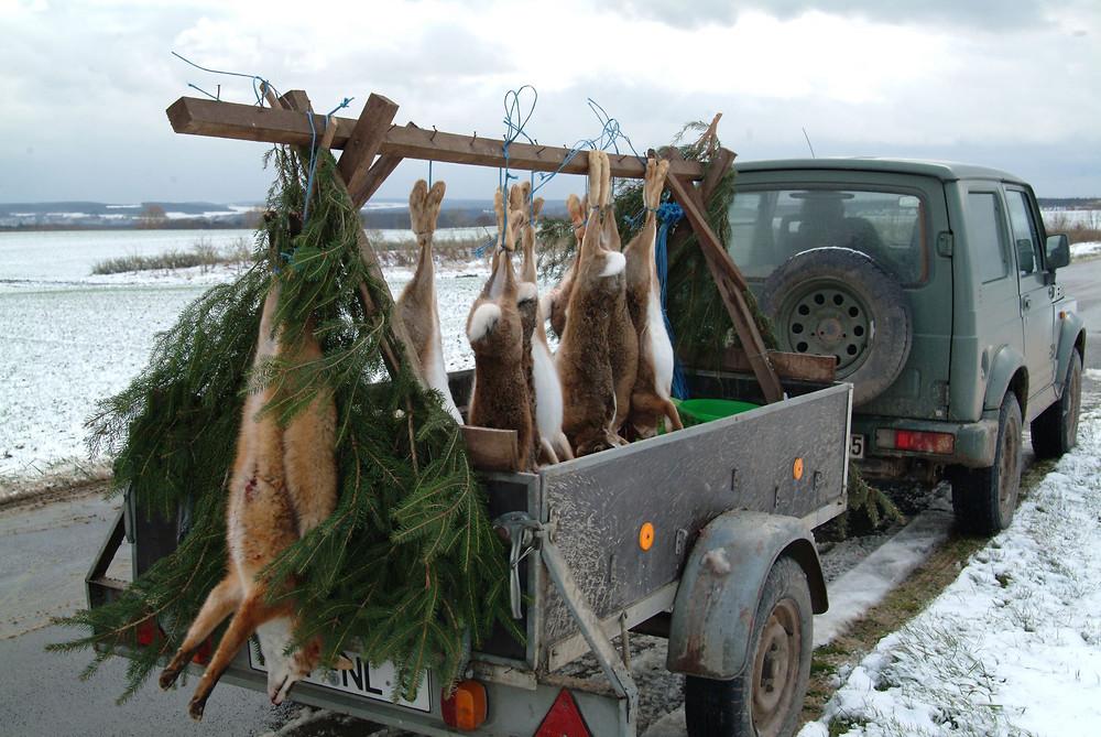 Nach der Treibjagd: Fuchs und Hasen