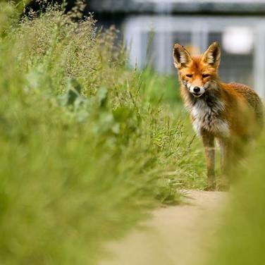 Rotfuchs am Ortsrand - Rotfüchse nicht jagen