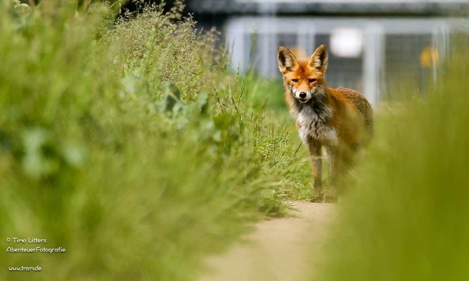 Fuchs am Stadtrand