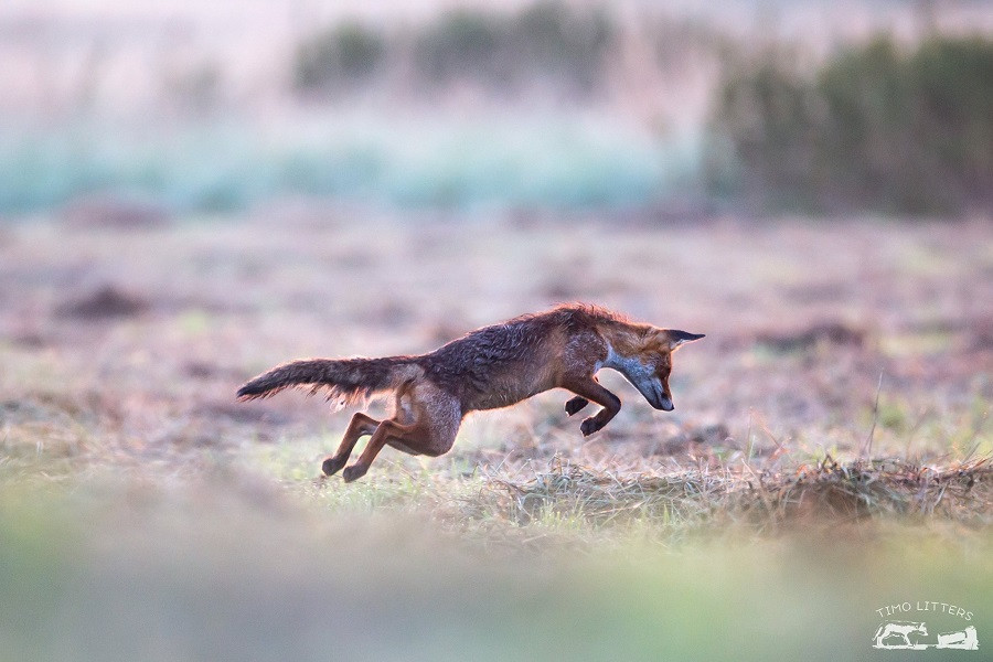 Fuchs jagt Mäuse - Mäusesprung