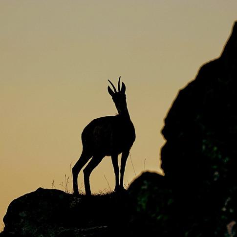 Gamsbock im Gegenlicht - Jagen ist kein Tierschutz