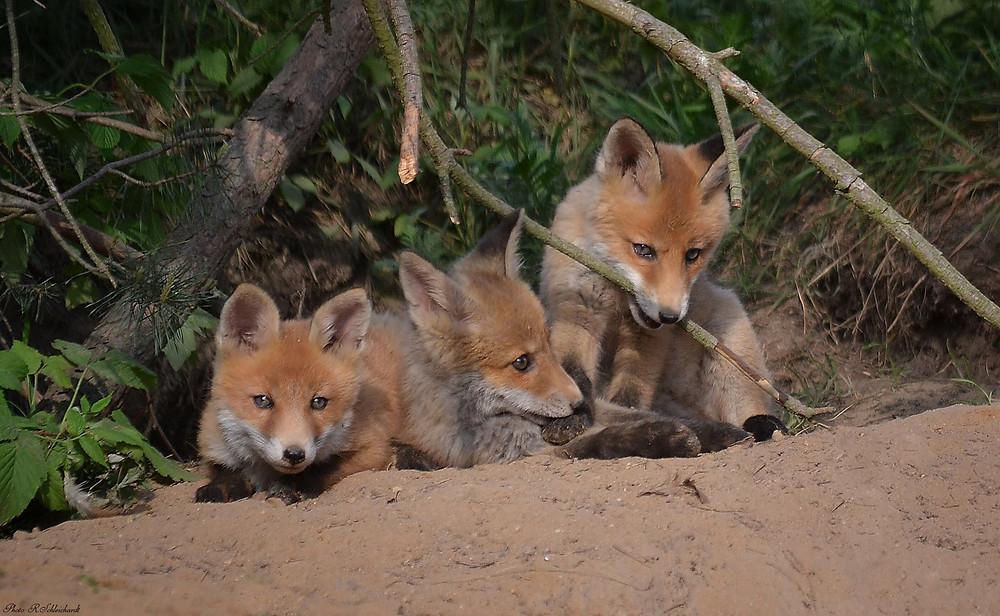 Junge Füchse am Bau, Fuchswelpen