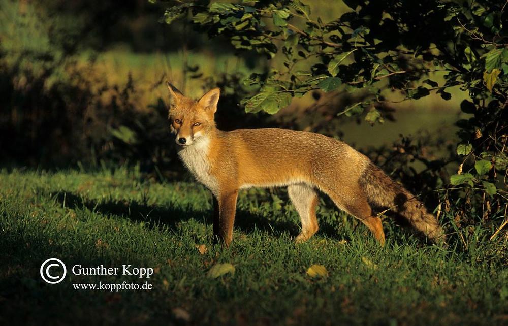 Erst durch die Jagd wird der Fuchsbandwurm verbreitet