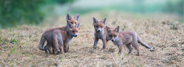 Vier junge Fuchswelpen