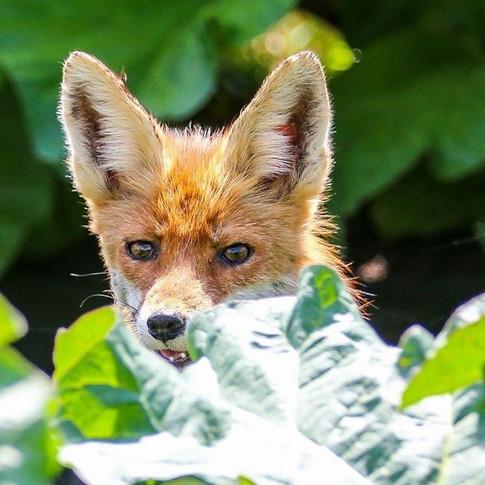 Fuchs im Wintergemüse
