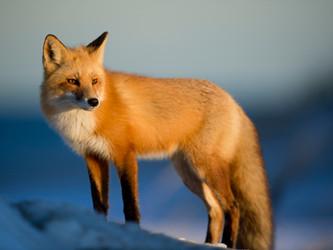 Luxemburg verlängert Jagdverbot auf Füchse