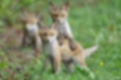 junge Füche, Fuchswelpen