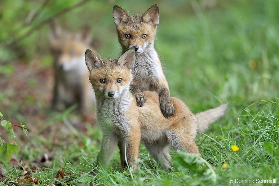 Fuchsjagd macht ökologisch keinen Sinn und kann sogar nachteilig für die menschliche Gesundheit sein