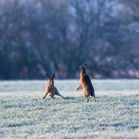 Boxende Feldhasen auf winterlicher Wiese - Wildtiere schützen