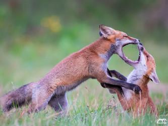 Offener Brief zur Fuchsjagd in NRW