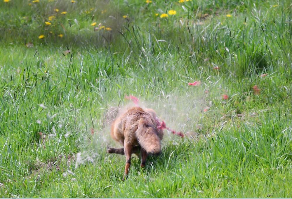 Während der Schonzeit für Füchse von Großkaliber durchsiebt