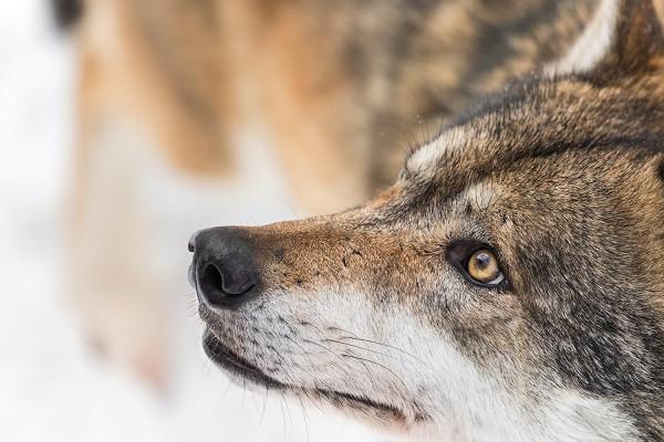 Jäger sind keine Experten oder Sachverständige für Wölfe