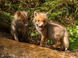 Nachwuchs während der Hauptjagdsaison: erste Fuchsbabys im Januar