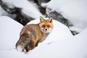 Wildtierkalender 2022 - Füchse, Füchse, Füchse