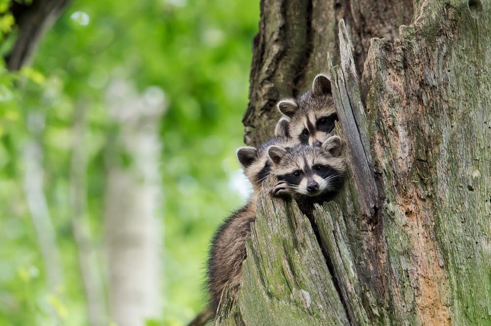 Drei junge Waschbären in einer Baumhöhle