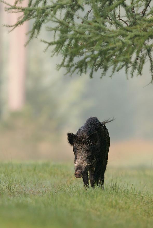 Afrikanische Schweinepest wird nicht über Wildscheine eingeschleppt