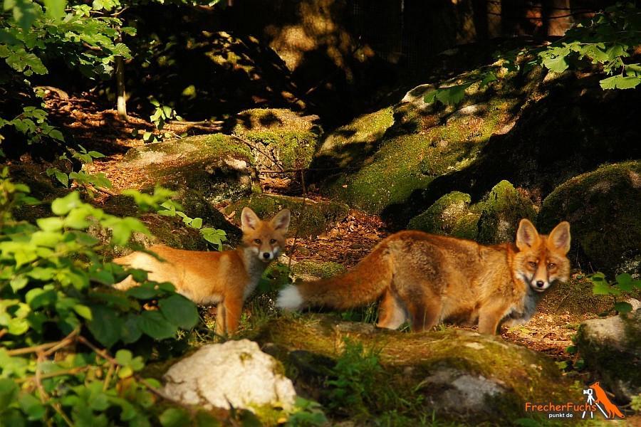 Fuchsrüde und Fuchswelpe, Füchse