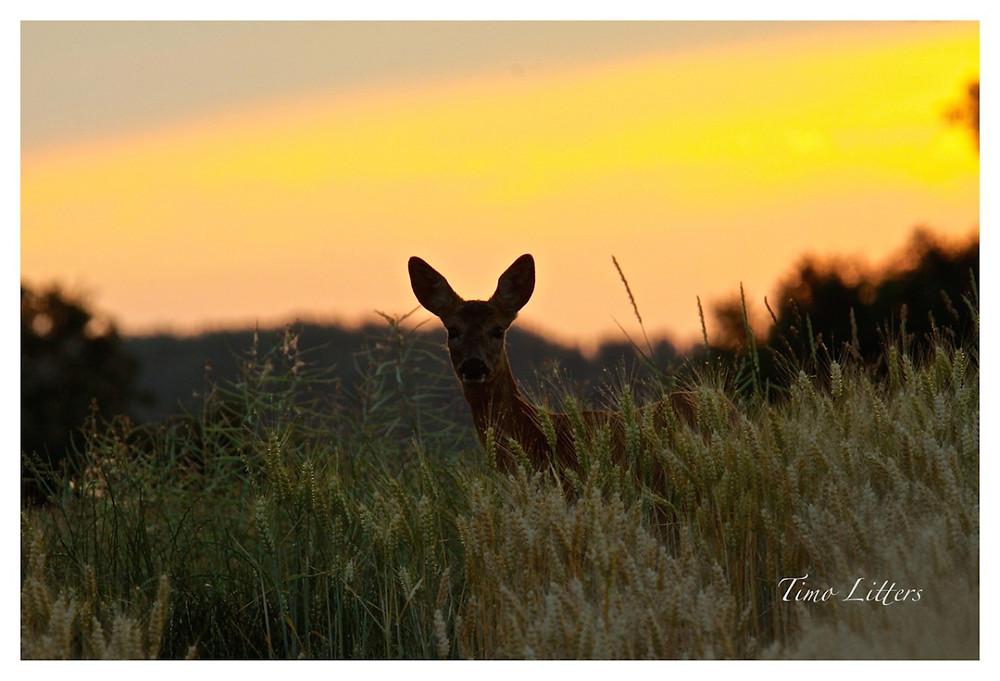 Reh bei Sonnenuntergang