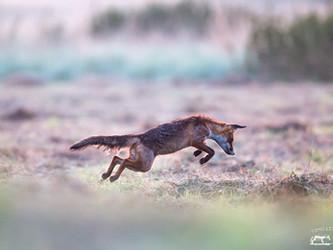 In Luxemburg funktioniert die Natur auch ohne Fuchsjagd