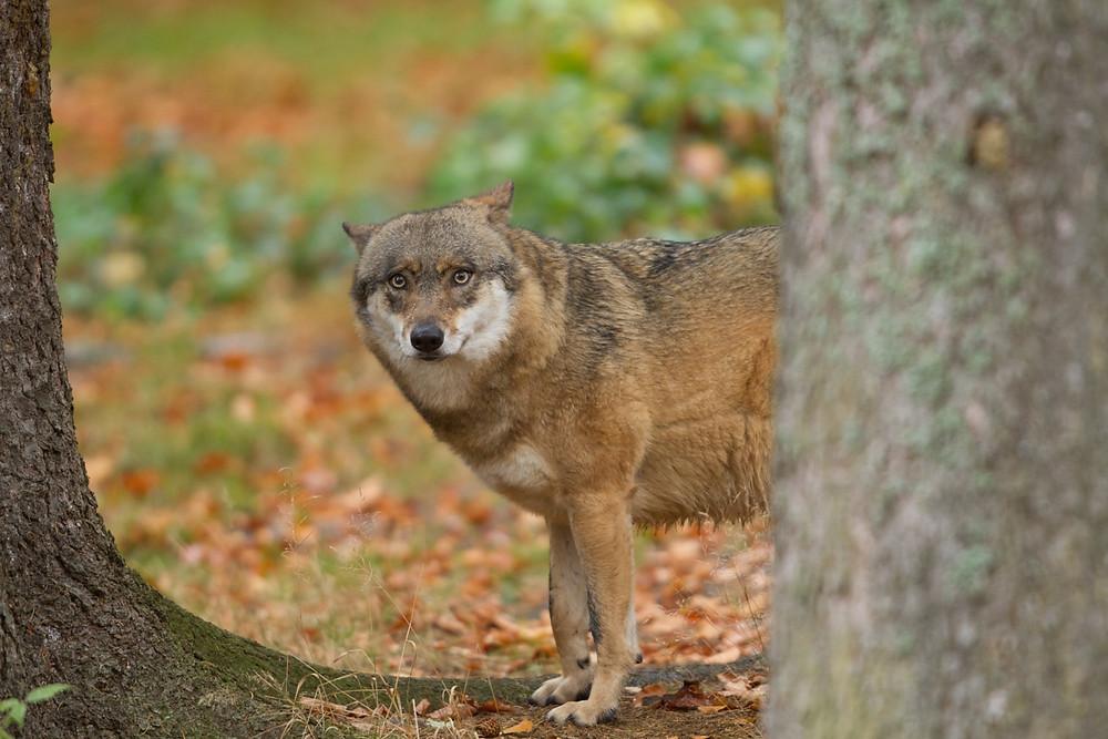 Wolf in Hessen