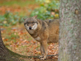 Wolf in Hessen: Umweltministerium fördert Herdenschutz mit 500.000 Euro