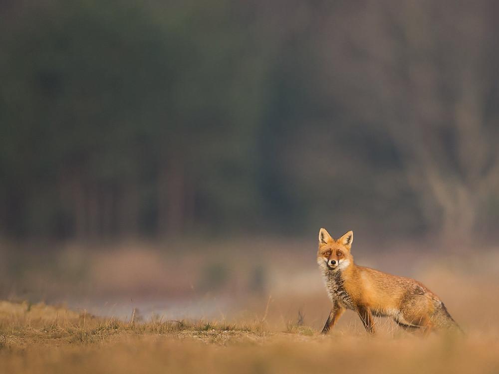 Abschaffung der Fuchsjagd