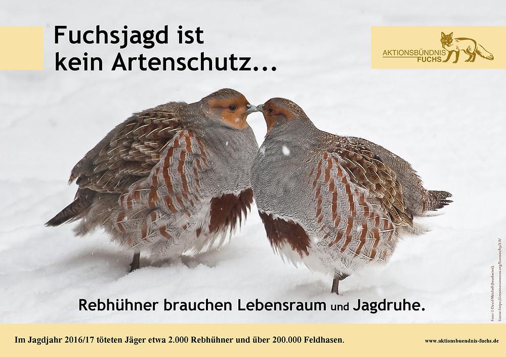 Fuchsjagd ist kein Artenschutz, Rebhühner im Schnee