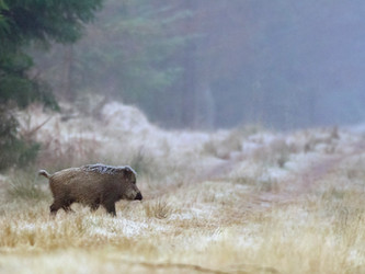 Keine Schonzeit für Wildschweine: Backhaus (MV), Schulze Föcking (NW), Otte-Kinast (NI) & Co ver