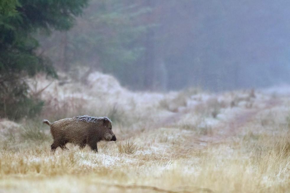 Wildschwein in Mecklenburg-Vorpommern