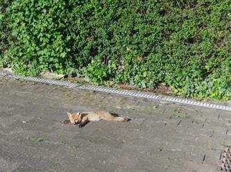 Strafanzeige: Jäger erschlägt Fuchswelpen