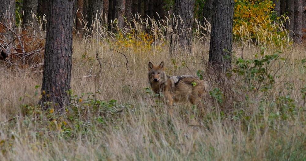Der Wolf ist ein scheues Tier, junge Wölfe können aber auch neugierig sein