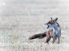 Kein vernünftiger Grund für die Fuchsjagd
