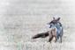 Fuchsjagd: kein vernünftiger Grund