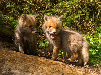 Schonzeit für Füchse: Prüfung durch den Hessischen Staatsgerichtshof unzureichend