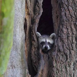 Die Waschbären-Lügen des Jagdverbands
