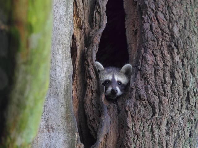 Jagd auf Waschbären hat keinen ökologischen Nutzen