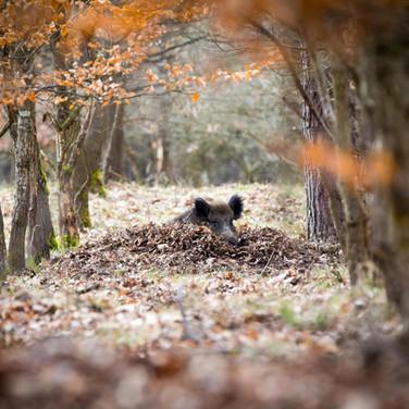 Bad im herbstlichen Blättersee - Wildschweine schützen