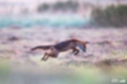 Fuchs Mäusesprung