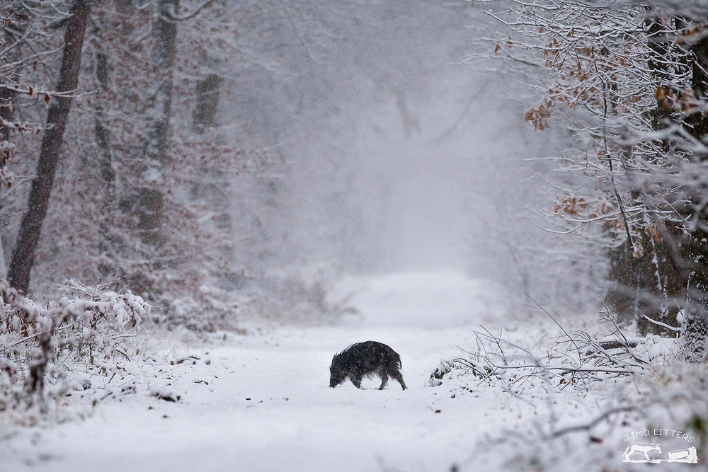 Wildschwein auf verschneitem Waldweg
