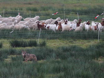 Statt Wolfsabschuss: Verpflichtung und Unterstützung für Herdenschutz