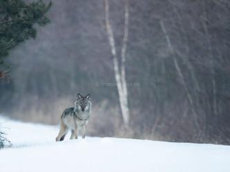 Wolfsfreie Zonen sind keine Option