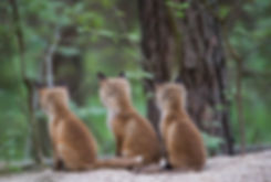 Drei Jungfüchse Welpe Fuchs