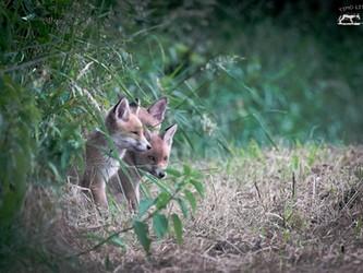 In deutschen Nationalparks wird der Fuchs meist nicht bejagt