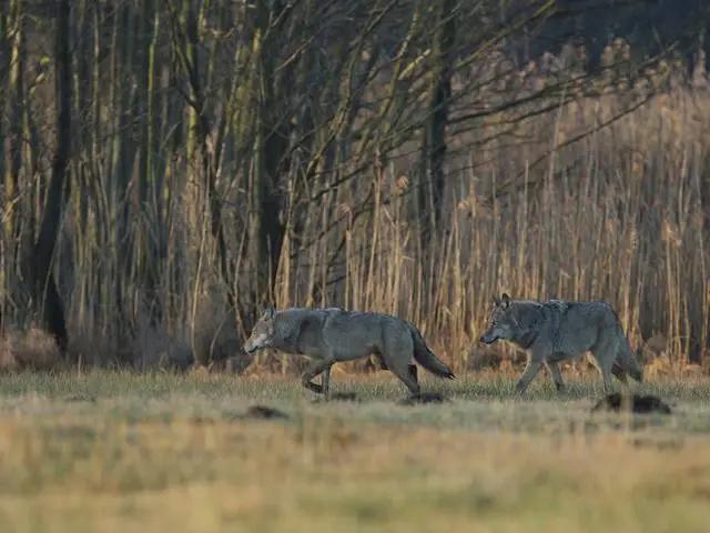 Abschuss von jungen Wölfen in Niedersachsen