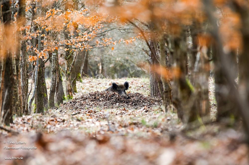 Wildschwein im Herbst in der Suhle