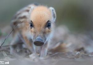 Mehr Jagd - mehr Afrikanische Schweinepest