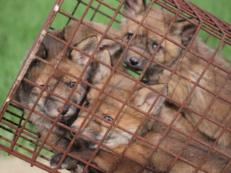 Protest gegen die Jagd auf Fuchswelpen