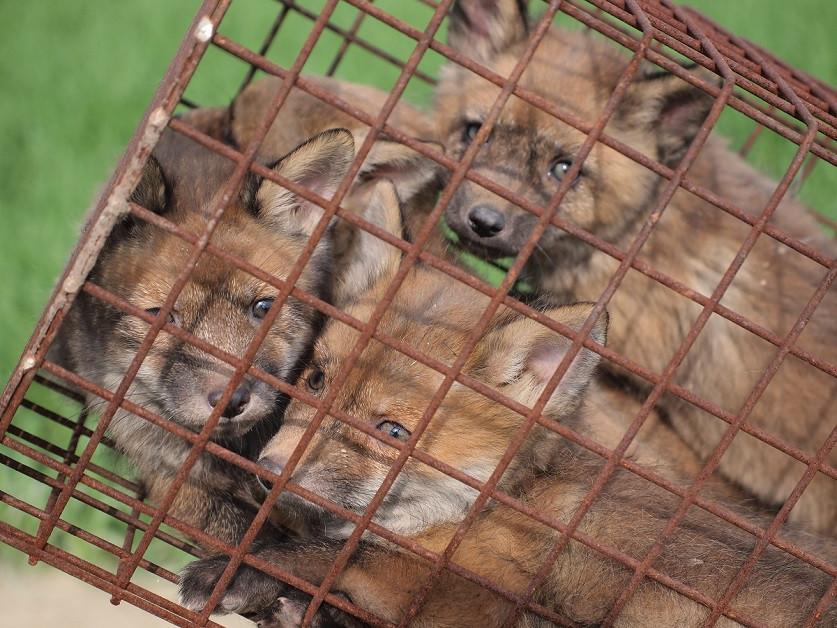 Falle für junge Füchse - Fuchsfalle - Fuchswelpen